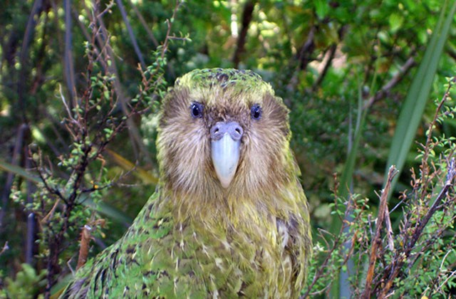 kakapo-perroquet-con