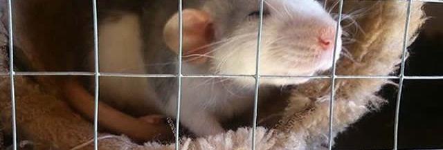 adopter-rats-temoignage
