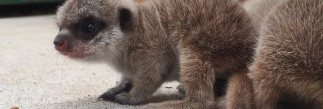 bebes-suricates-zoo-sydney