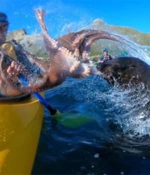 otarie-gifle-kayakiste-avec-poulpe