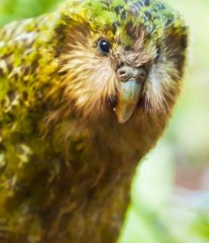 kakapo-vert