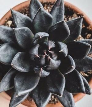succulentes-noires-decoration