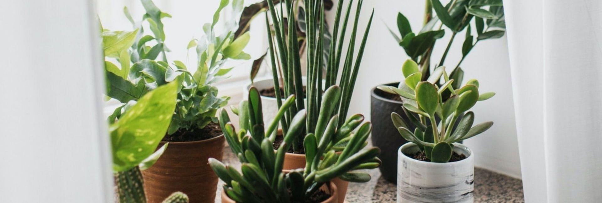 plantes-bord-fenetre