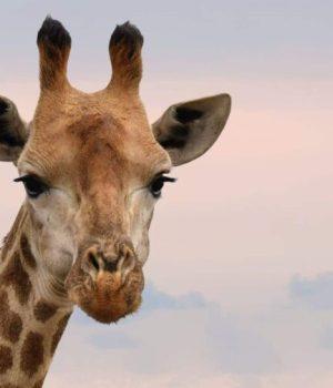 «girafe»
